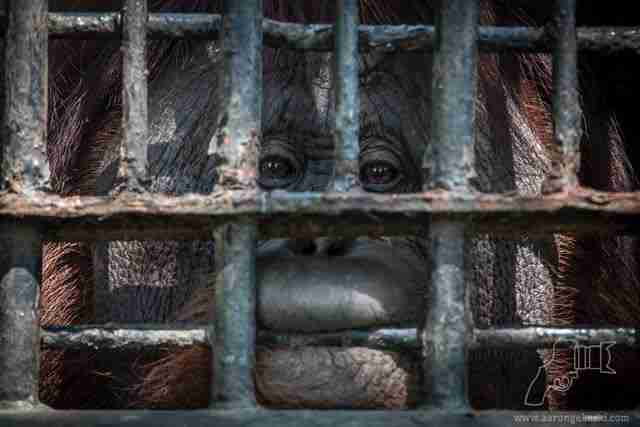 Orangutan chewing on cage bars