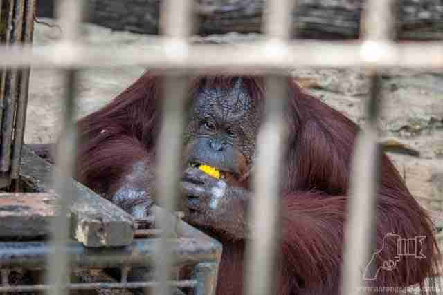 Overweight orangutan eating sweet corn