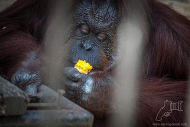 Obese orangutan eating sweet corn