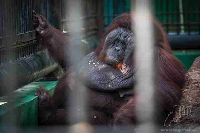 Obese orangutan inside zoo cage
