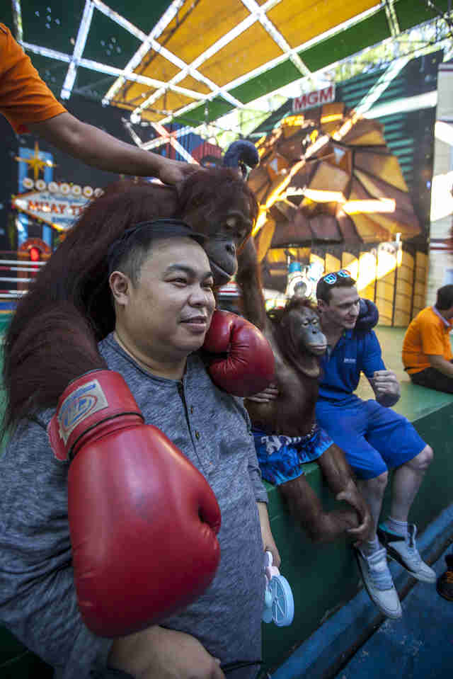 Orangutans boxing at zoo in Thailand