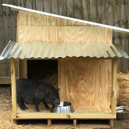rescue pigs abandoned when they got too big