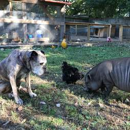 rescue pigs abandoned because they got too big