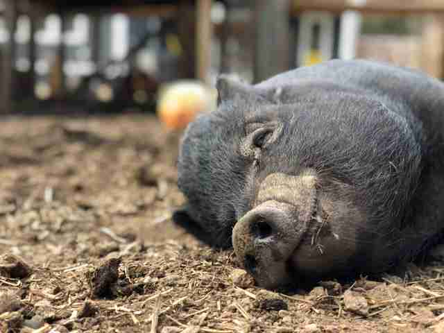 rescue pigs abandoned after they got too big