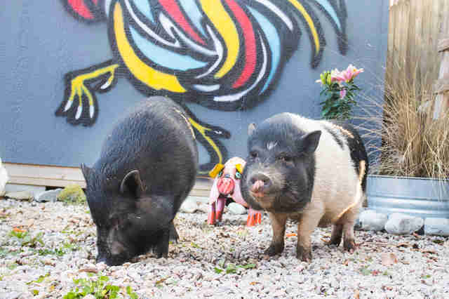 rescue pigs abandoned cause they got too big