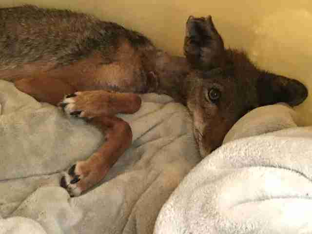 Injured coyote recovering in bed