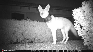Injured coyote caught on camera trap