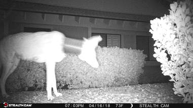 Coyote on camera trap