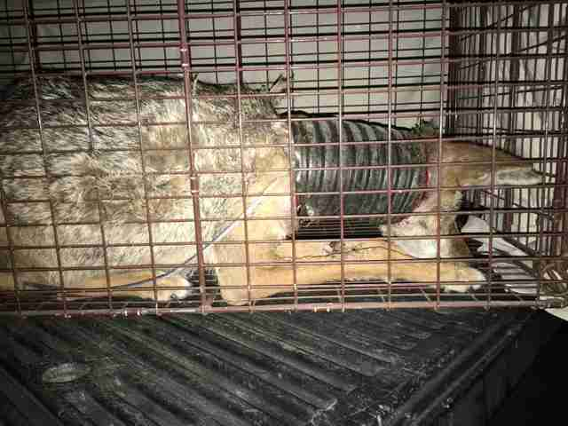 Injured coyote inside trap