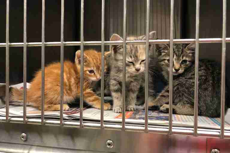 kittens for adoption at Houston animal shelter