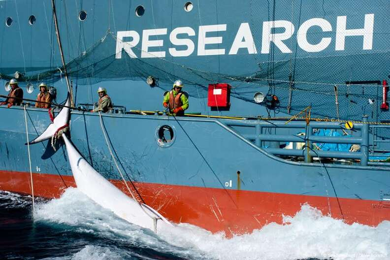 Whale on Japanese whaling ship