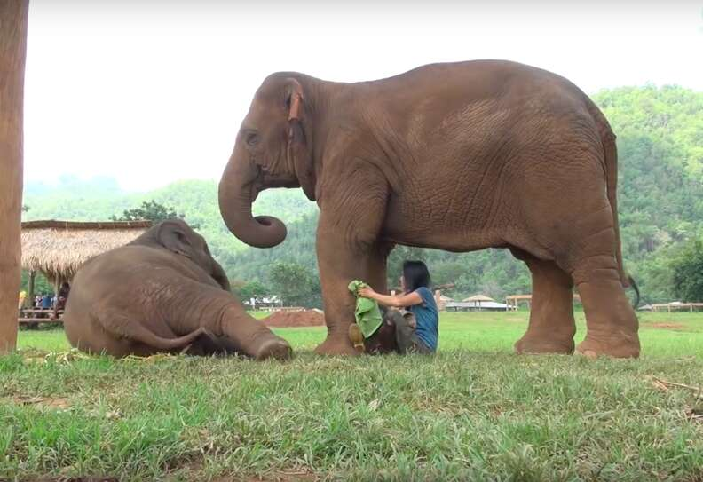 elephant lullaby thailand