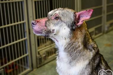 Rambo the dog's hairless ears