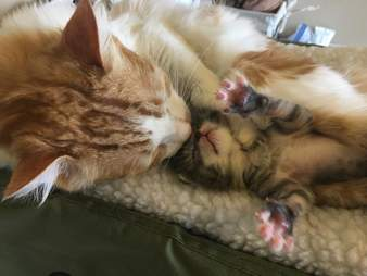 Kitten snuggling with cat