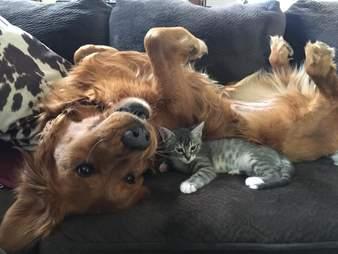 Kitten snuggling against dog