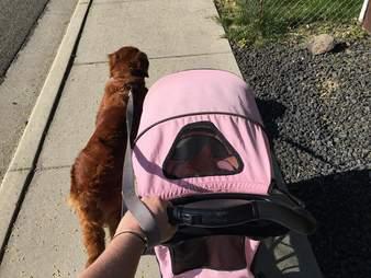 Dog walking beside cat carriage