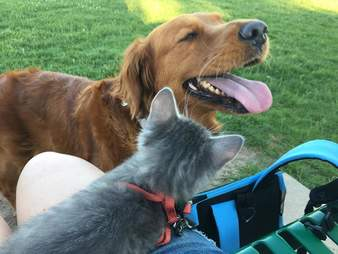 Dog smiling with kitten on person's lap