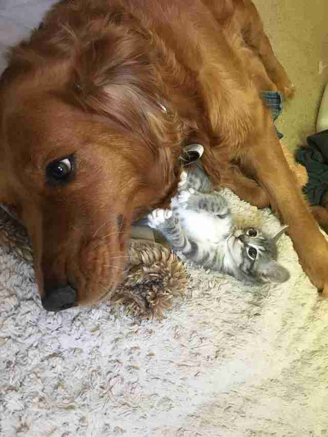 Dog and kitten cuddling together