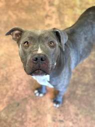 Portrait of rescued pit bull