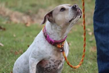 Bulldog mix on leash
