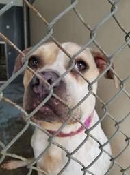 Bulldog mix inside kennel at shelter
