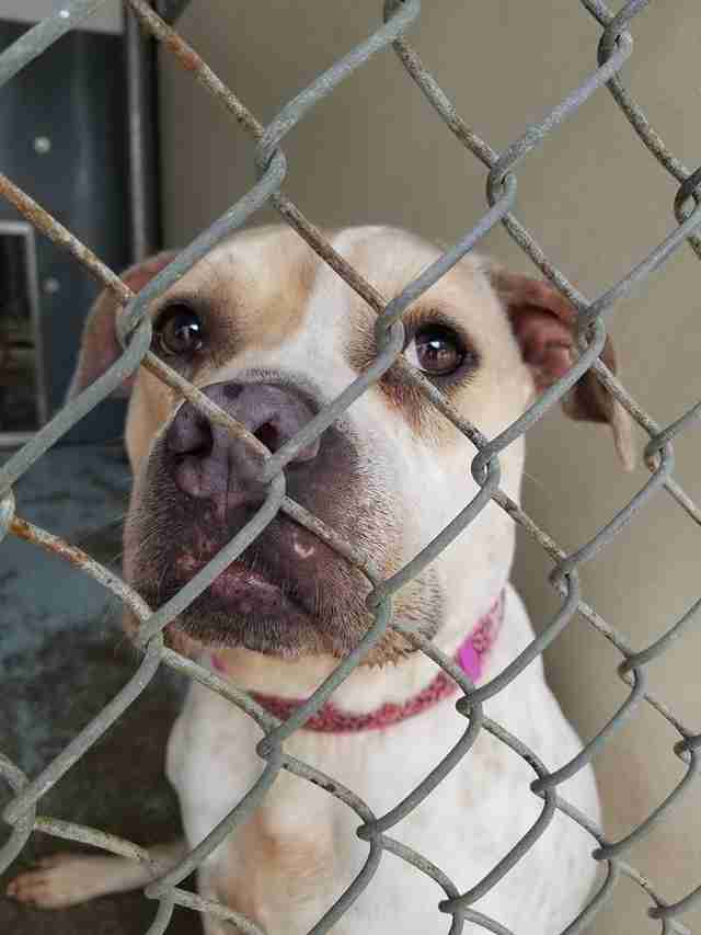 Bulldog mix inside kennel at shelter