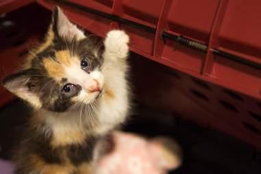 kitten rescue pennsylvania