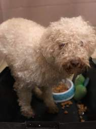 Lee the poodle after being found in parking lot