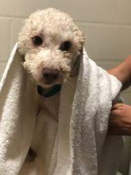 Lee the poodle gets a bath