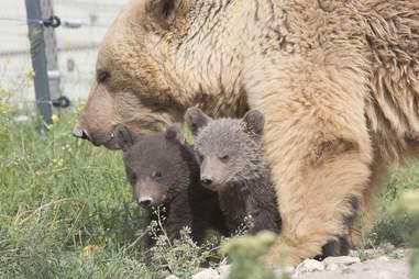 bear rescue armenia cubs