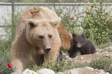 bear rescue cub sanctuary
