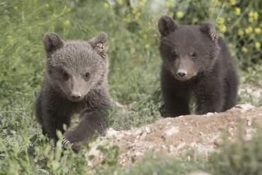 bear rescue cubs armenia
