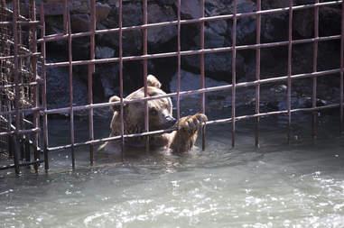 bear cage rescue cubs armenia