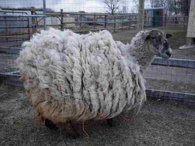 Sheep with overgrown fleece
