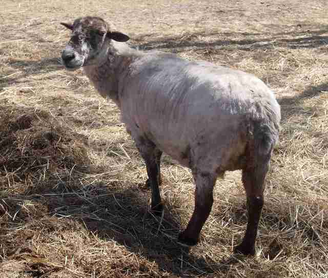 Sheep with newly shorn fleece