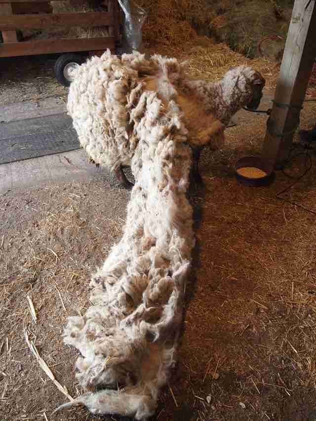 Sheep getting fleece shorn