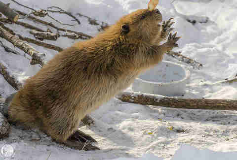 Injured Beavers See Each Other For First Time And Fall Instantly In Love