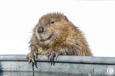 male beaver found in stormdrain