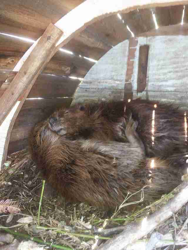 rescued beavers sleeping together