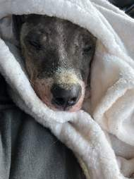 Rescued dog snuggled up in blanket