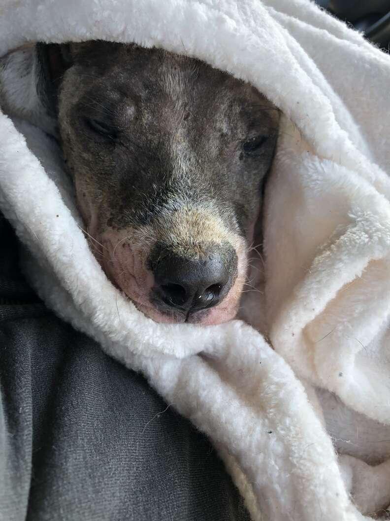 Rescued dog snuggled up in blanket