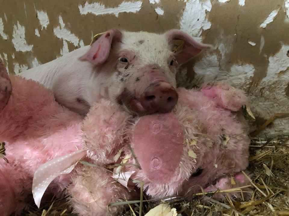 Piglet Who Fell Off Transport Truck Won't Let Go Of Her New Best Friend