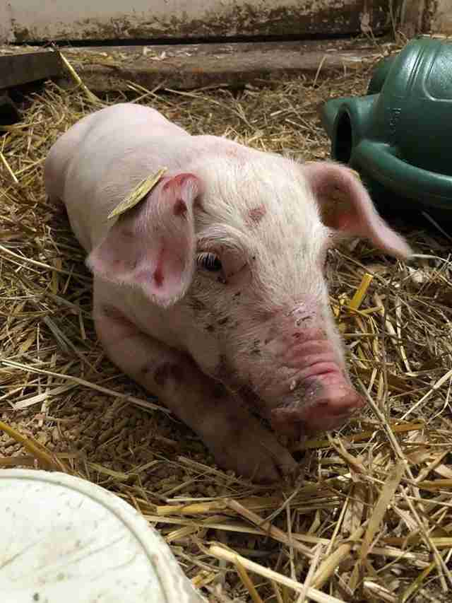Rescue piglet on straw