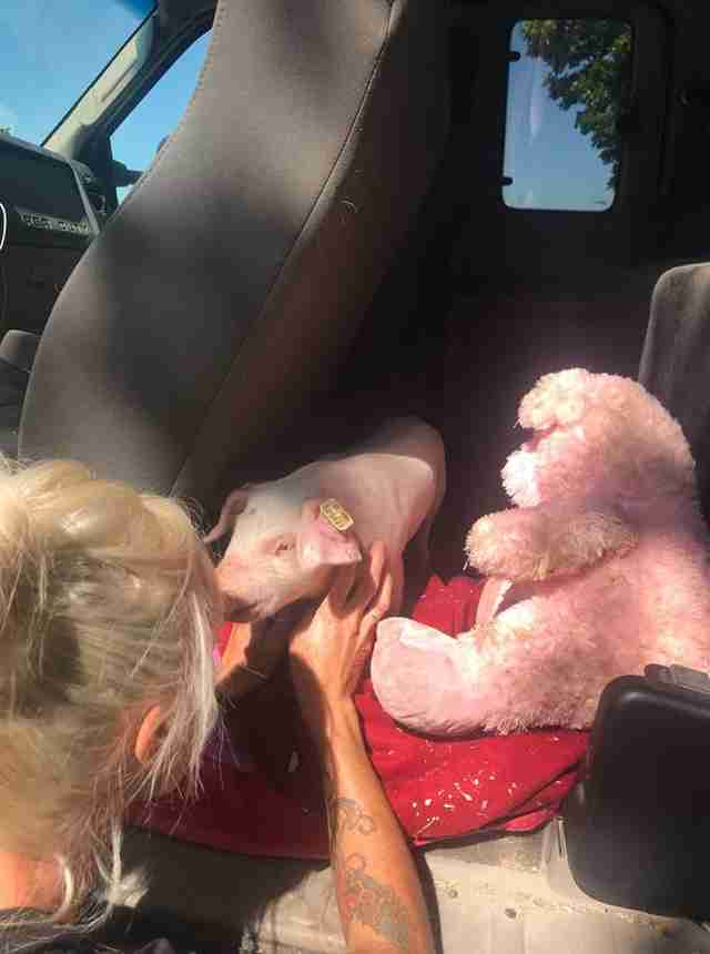 Woman comforting rescued piglet