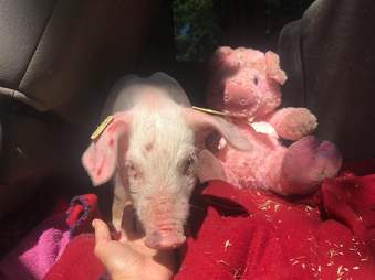 Rescued piglet in car with stuffed animal
