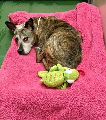 senior dog abandoned cancer adoption