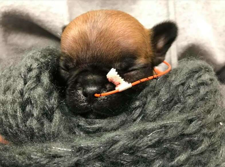french bulldog puppy cleft palate breeder