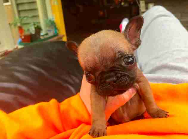 french bulldog cleft palate rescue
