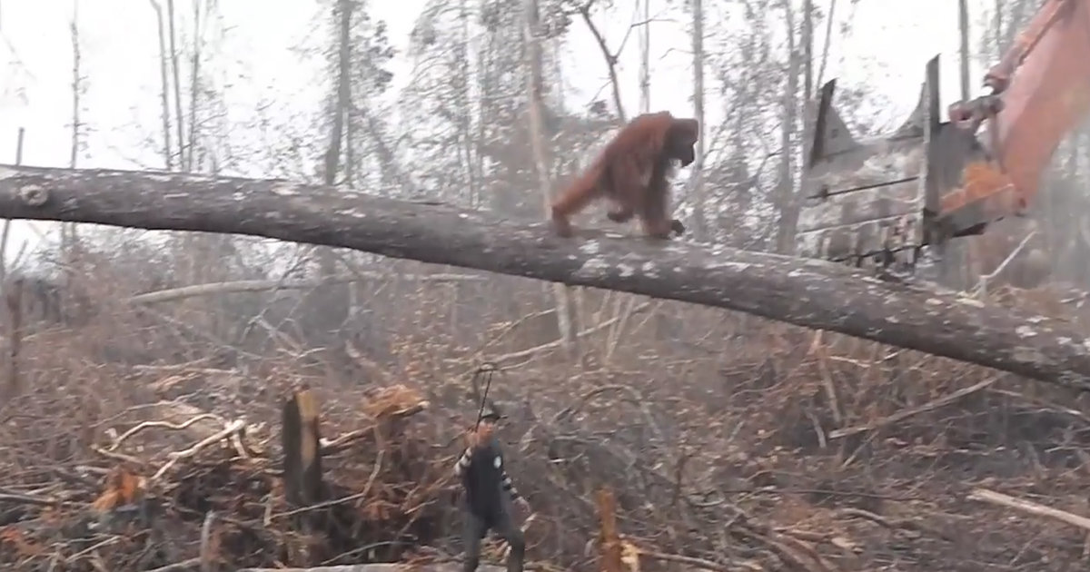 Orangutan Confronts Bulldozer Destroying Indonesian Forest