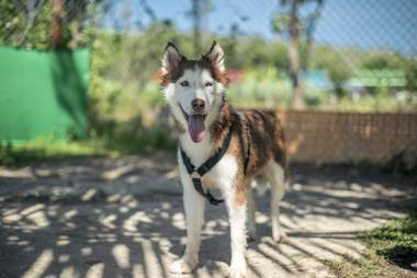 Rescued husky smiling in play yard